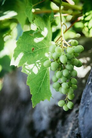 Photo for Close up of vine grapes in Italy, Sunshine - Royalty Free Image