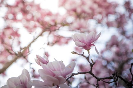 Foto de Fresh beautiful magnolia blossoms, springtime. Pink and white colors.  - Imagen libre de derechos