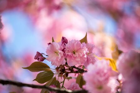 Foto de Close up picture of pink blooming cherry blossoms  - Imagen libre de derechos