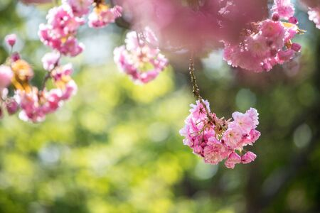 Foto de Close up picture of pink blooming cherry blossoms, copy space.  - Imagen libre de derechos
