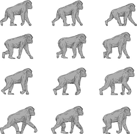 Illustration pour Collection set of illustrations of a chimpanzee walking viewed from the side set on isolated white background done in drawing sketch style. - image libre de droit