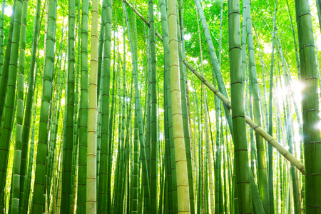 Photo for Bamboo forest of Arashiyama near Kyoto, Japan - Royalty Free Image
