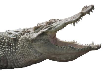 Foto de Albino Crocodile head  / Skin is white , nearly extinct , found in Southeast Asia - Imagen libre de derechos