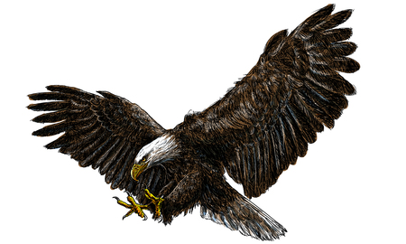 Illustration pour Bald eagle swoop landing draw and paint on white background illustration vector. - image libre de droit