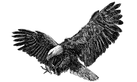 Illustration pour Bald eagle swoop landing draw monochrome on white background illustration vector. - image libre de droit