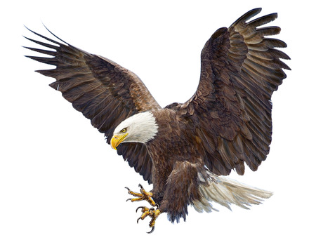 Photo pour Bald eagle landing swoop  and paint on white background illustration. - image libre de droit