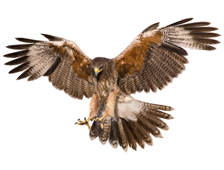 Foto de Falcon landing swoop hand draw and paint color on white background illustration. - Imagen libre de derechos