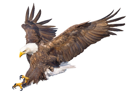 Illustration pour Bald eagle swoop attack hand draw and paint on white background animal wildlife vector illustration. - image libre de droit