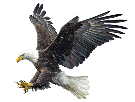 Foto de Bald eagle fly landing hand draw and paint on white background illustration. - Imagen libre de derechos