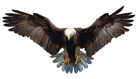 Foto per Bald eagle landing hand draw and paint on white background illustration. - Immagine Royalty Free