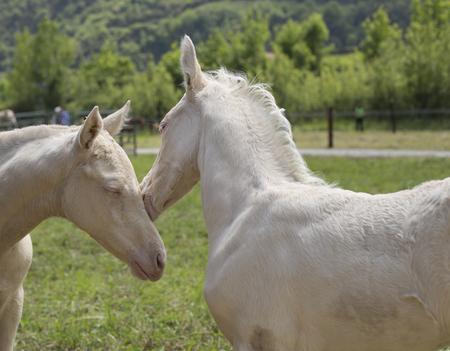 Foto de Twins cremello foals (or albino) - Imagen libre de derechos