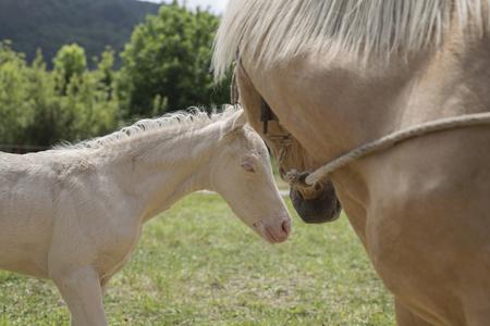 Foto de Cremello foal (or albino) and palomino mare - Imagen libre de derechos
