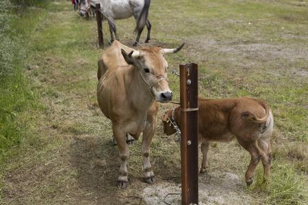 Foto de Aerial view of a cow and a calf - Imagen libre de derechos