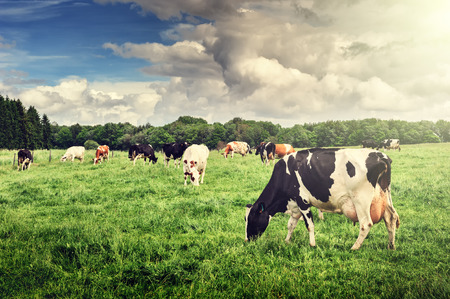 Herd of cows grazing at summer green field
