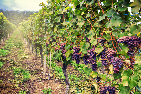 Photo for Landscape with autumn vineyards and organic grape on vine branches - Royalty Free Image