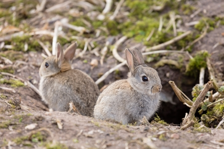 Photo for Two baby wild European rabbits sit outside their burrow at a rabbit warren in the UK - Royalty Free Image