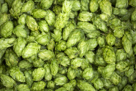 Photo for Green fresh hop cones for making beer and bread close up. - Royalty Free Image