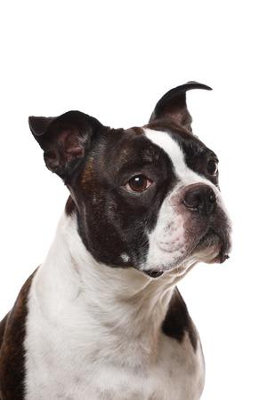Photo pour A closup of a Boston Terrier - image libre de droit