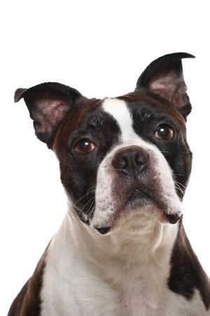 Photo pour A closeup of a Boston Terrier - image libre de droit