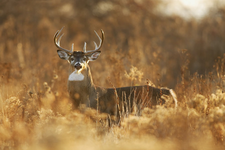 Foto de A whitetailed deer buck in golden light. - Imagen libre de derechos