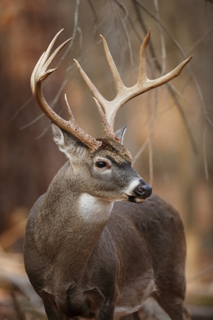 Foto de A huge White-tailed Deer in the forest - Imagen libre de derechos