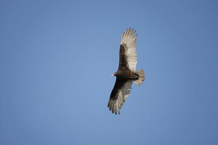 Foto de Turkey Vulture in Flight - Imagen libre de derechos