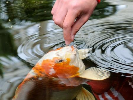 Feeding koi carp by hand (Cyprinus Rubrofuscus)