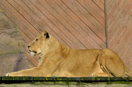 Photo pour Lion in Sphinx Pose - image libre de droit