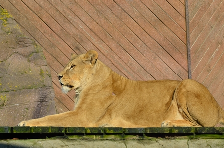 Photo pour Large lion in sphinx pose - image libre de droit