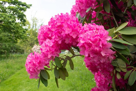 Photo pour Close up of Pink rhododendron in  garden - image libre de droit