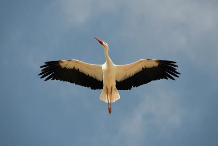 Foto de White Stork overhead. A magnificent white stork shows the finery of its plumage as it passes overhead. - Imagen libre de derechos