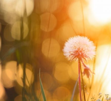 Foto de Tiny summer dandelion - Imagen libre de derechos