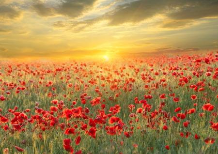 Photo pour Poppy filed on sunset sky background - image libre de droit