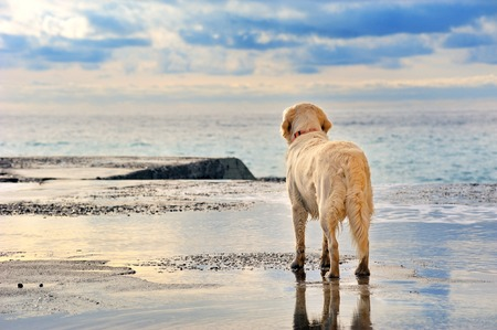 Foto de young white golden retriever  owner waiting on the seafront - Imagen libre de derechos