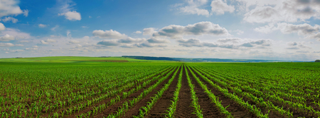 Photo for lines of young corn shoots on big field - Royalty Free Image