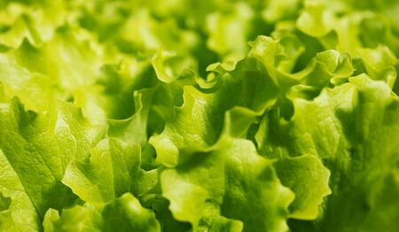 lot of fresh green lettuce leaves as background