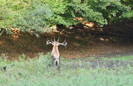 Foto de Deer comes out of the forest on a mud in time rut - Imagen libre de derechos