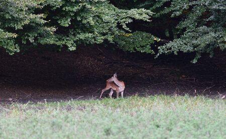 Foto de Doe deer comes out of the forest on a mud during pairing season - Imagen libre de derechos