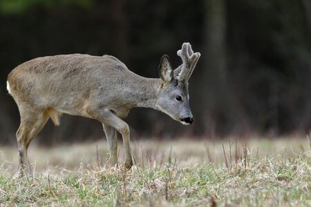 Foto de Roe deer with growing antlers comes out to the pasture at the edge of the forest - Imagen libre de derechos