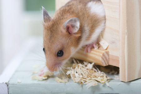 Photo for Hamster - Royalty Free Image