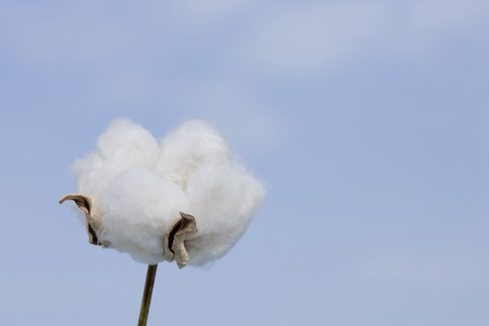 Foto de Cotton - Imagen libre de derechos