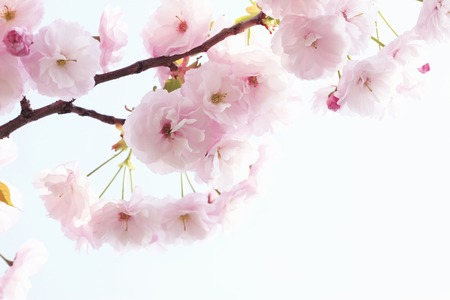 Photo pour Double cherry blossoms - image libre de droit