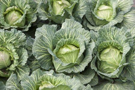 Photo pour Cabbage field - image libre de droit