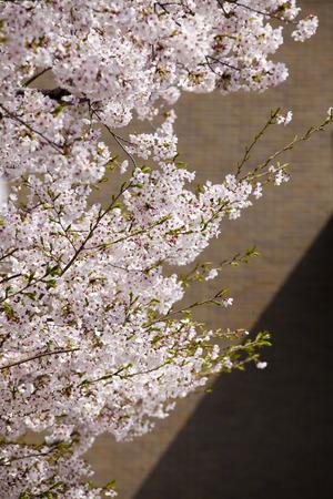 Sakura and school
