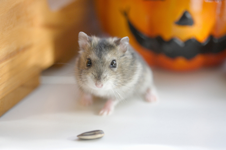Photo for Djungarian Hamster - Royalty Free Image