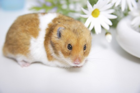 Photo for Hamster and flowers - Royalty Free Image