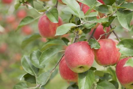 Photo pour Apple groves sunshine - image libre de droit
