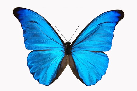 Photo pour Blue Butterfly - image libre de droit