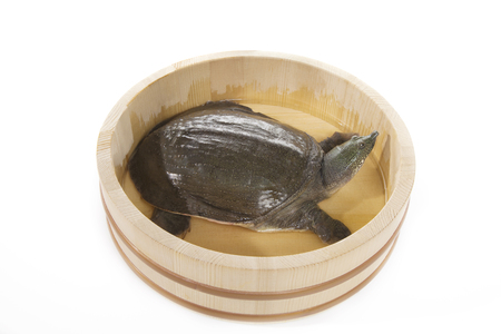 Photo for Soft-shelled turtle - Royalty Free Image