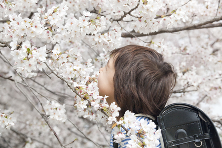 Boy smiling Intention face to cherry blossoms